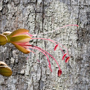 Eperua-Falcata-cortex-and-flower