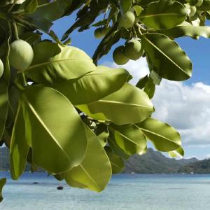 Tamanu virgin oil Pacifique Sud Ingredients