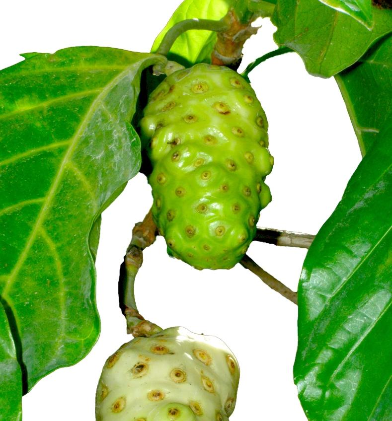 Noni-fruit-Pacifique Sud