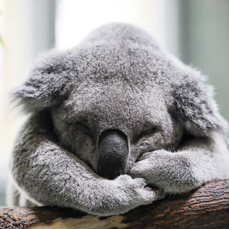 La La Koala RT7706