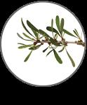 Argan Program Sfruttamento sostenibile Argan: foglie